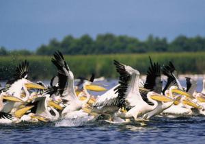 Pelicani_din_Delta_Dunarii